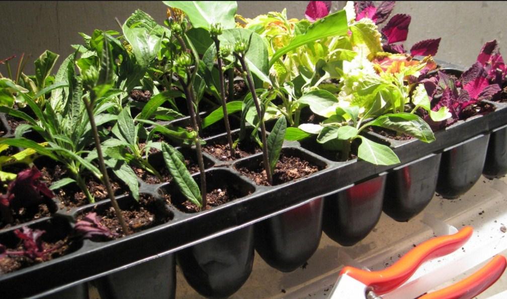 Penjelasan Perkembangbiakan Tumbuhan Secara Vegetatif Alami Dan Buatan