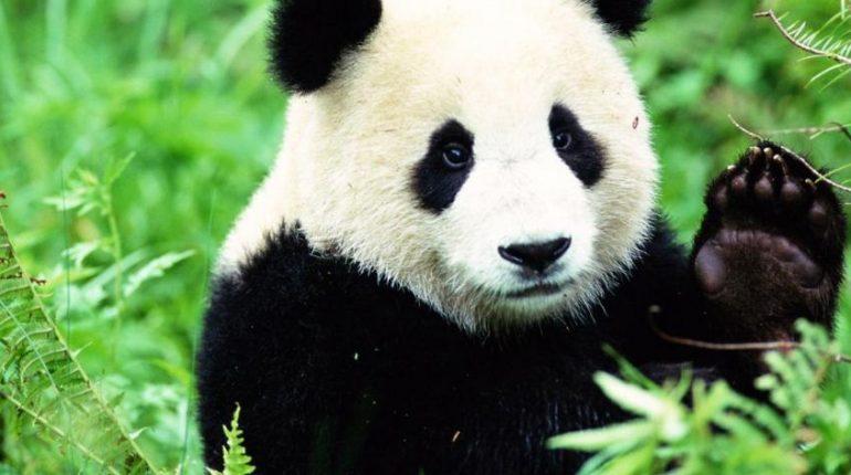 Contoh Report Text About Panda Terbaru - Kakak Pintar