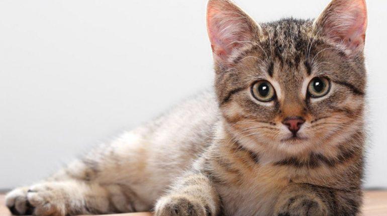 Contoh Descriptive Text About Cat Artinya Kakak Pintar